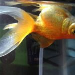 Why Is My Goldfish Swimming Upside-down? How to Fix this Problem
