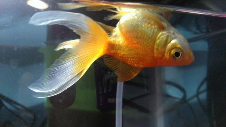 Why Is My Goldfish Swimming Upside-down